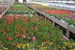 花瓶大竺葵开花在一间大温室里面的待售 免版税图库摄影