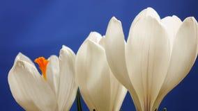 花番红花进展的和增长的春天宏观timelapse 股票视频