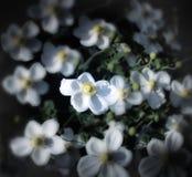花白色银莲花属 免版税库存图片