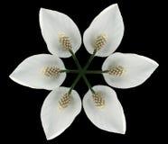 花白色 开花在与裁减路线的黑背景隔绝的白色 没有影子 背景构成旋花植物空白花的郁金香 对设计 免版税库存照片