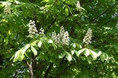 花白色panicles在欧洲七叶树leafage的  免版税库存照片