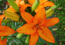 花百合夏天黄色和橙色花园 免版税图库摄影