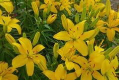 花百合夏天黄色和橙色花园 免版税库存图片