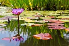花百合池塘紫色水 免版税图库摄影