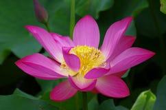花百合莲花粉红色吐温水 库存图片