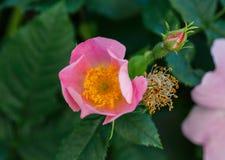 花的三个阶段 芽,花,枯萎 生长本质上的野玫瑰果花 宏指令 免版税库存图片