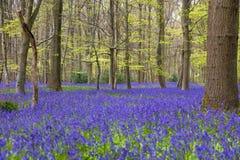 花的会开蓝色钟形花的草森林 库存图片