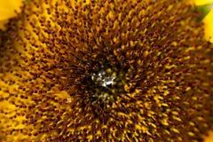 花的向日葵核心 免版税库存照片
