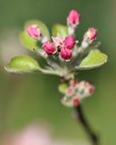 花的桃红色芽 图库摄影