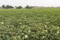 花的棉花种植园 库存照片