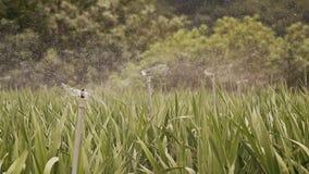 花的种植园用自动水浇灌 越南 影视素材