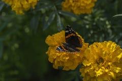花的红蛱蝶蝴蝶在庭院里 免版税库存图片