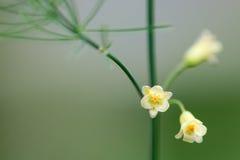 花的芦笋(芦笋officinalis)植物 库存照片