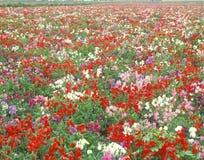 花的领域, Lompoc,加州 免版税库存照片