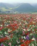 花的领域, Lompoc,加州 免版税库存图片