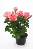 花盆桃红色玫瑰 免版税库存照片