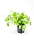 花盆的园林植物在白色背景 免版税库存图片