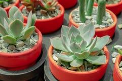 花盆的多汁植物 库存照片