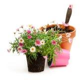 花盆的桃红色雏菊延命菊植物在白色b 库存图片