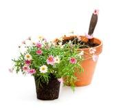 花盆的桃红色雏菊延命菊植物在白色b 免版税库存照片