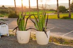 花盆的植物在关闭在阳光下 免版税图库摄影