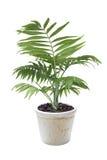 花盆的议院植物Chamaedorea 库存图片
