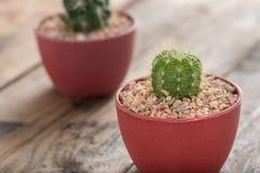 花盆的仙人掌植物 免版税库存照片