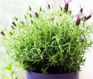 花盆西班牙淡紫色 免版税库存照片