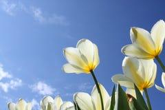 花空白春天的郁金香 免版税库存照片