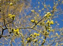 花粉分布的春天结构树 免版税库存照片