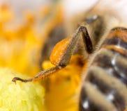 花粉在爪子的蜂蜜蜂 2009朵超级花宏观的夏天 库存图片