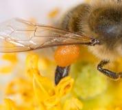 花粉在爪子的蜂蜜蜂 2009朵超级花宏观的夏天 库存照片