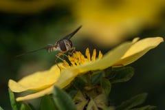 花粉收藏家2 库存照片