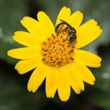 花粉盖了在一朵黄色雏菊花的昆虫 库存照片