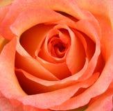 花粉红色上升了 免版税图库摄影