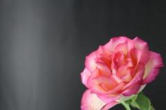 花粉红色上升了 库存照片
