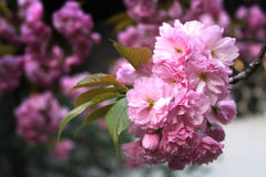 花粉红色 免版税库存照片