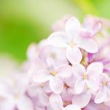 花紫丁香属植物 免版税库存照片
