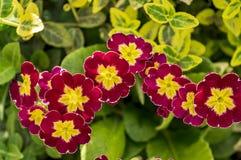 花紫红色在晴朗的春日特写镜头的绿色叶子 免版税图库摄影
