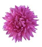 花紫红色 库存照片