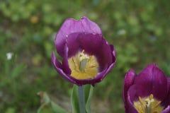 花紫色自然 图库摄影