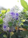 花紫色花圈的名字有有类似星的五个瓣的紫色瓣 免版税库存图片