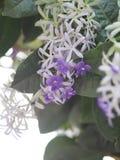 花紫色花圈的名字有有类似星的五个瓣的紫色瓣 免版税图库摄影