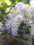 花紫色花圈的名字有有类似星的五个瓣的紫色瓣 库存照片