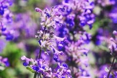 花紫色花束在庭院里 惊人的紫罗兰色花 免版税库存图片
