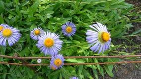 花紫色雏菊欧洲自然 免版税图库摄影