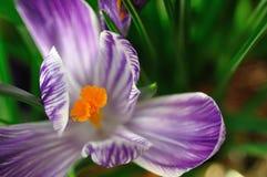 花紫色 图库摄影