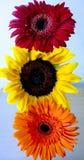 花红绿灯 向日葵和一朵红色和橙色gerber雏菊花 特写镜头 免版税库存图片