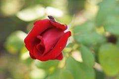 花红色上升了 免版税图库摄影
