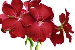 花红色大竺葵关闭 家庭红色大竺葵 库存图片